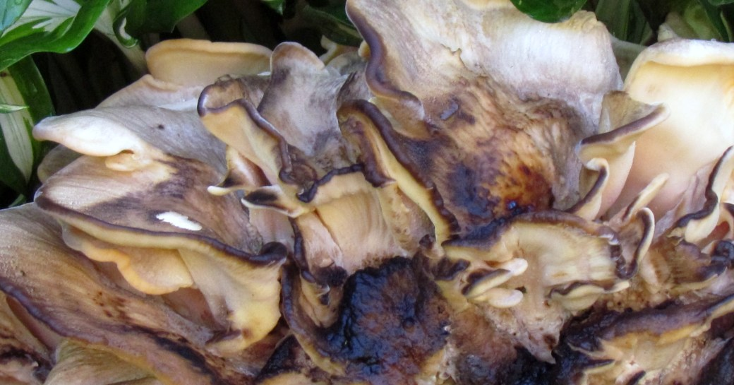 hen of the woods 1